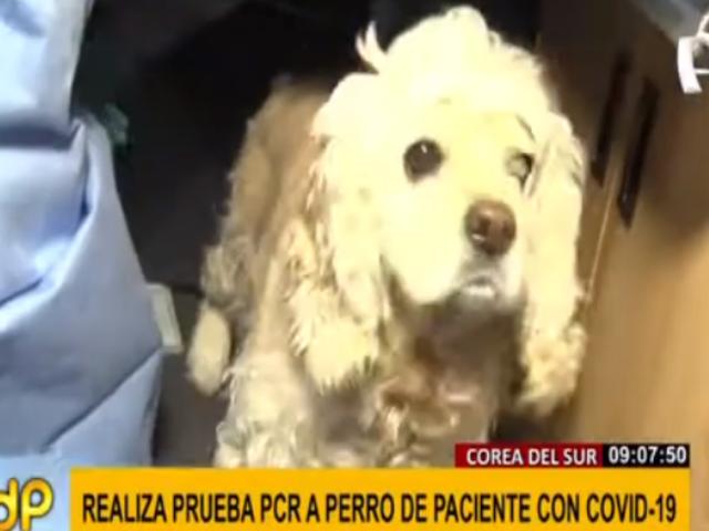 Corea del Sur: realizan prueba COVID-19 a perro de paciente