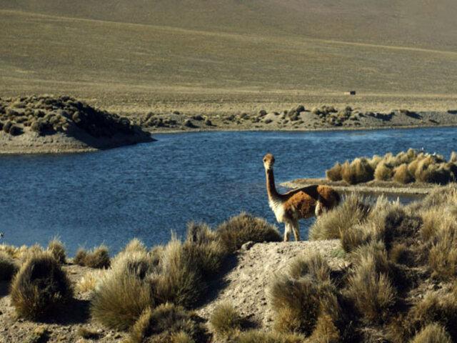 ¡Atentado ecológico! cazadores furtivos matan más de 50 vicuñas en las zonas altas de Arequipa