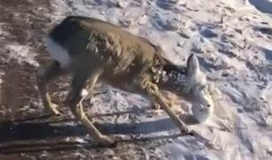 Hermanos salvan de morir a ciervo con el rostro cubierto de hielo