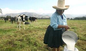 Ganaderos evalúan sacrificar 2,000 vacas tras alza de costos para mantenerlas
