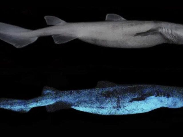 ¡Increíble!: Encuentran al tiburón luminoso más grande del mundo en Nueva Zelanda