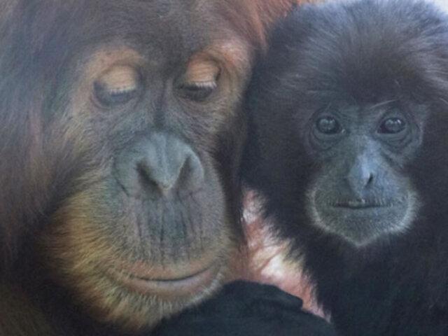 EEUU: cuatro simios de un zoológico fueron vacunados contra el Covid-19