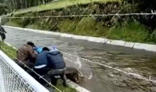 Ayacucho: arriesgan sus vidas para rescatar a toro que cayó en canal