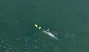 Curioso momento: enormes ballenas grises sorprenden a kayakista en Malibú