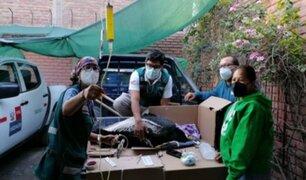 Arequipa: personal de Serfor rescató a cóndor andino que estaba enfermo