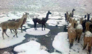 Más de 180 crías de alpaca mueren por fuertes nevadas en Cusco