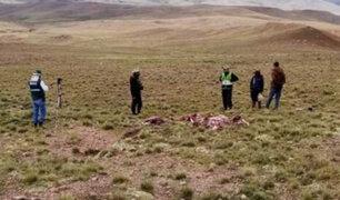 Arequipa está en alerta tras caza furtiva de ocho vicuñas en Cusco