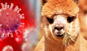 Chile: Estudio revela que anticuerpo de alpaca combate variantes brasileña, británica y sudafricana