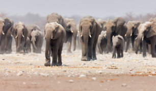 Sudáfrica: cazador furtivo muere tras ser aplastado por una manada de elefantes