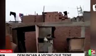 Familia afirma vivir intranquila por ruidos de gallos que cría su vecino en Chorrillos