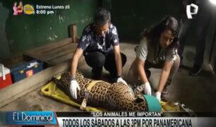 """""""Los animales me importan"""": Conozca al jaguar amarillo del Parque de las Leyendas"""