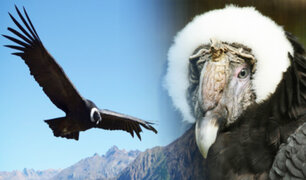 Cóndor andino se dirige a su extinción, advierten científicos