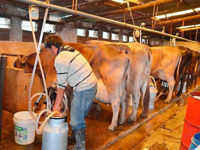 Lanzarán fondo de reactivación de hasta S/ 80 millones para ganaderos lecheros