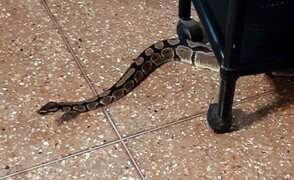 ¡De terror! Familia encuentra enorme serpiente en su vivienda en Surco