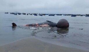 Ballena de 10 metros  de longitud aparece muerta en la playa El Dorado de Nuevo Chimbote