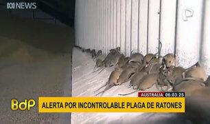 Australia: crece alarma por plaga de ratones que azota a los granjeros