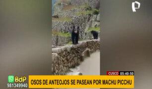 Osos de anteojos son captados paseando en ciudadela de Machu Picchu