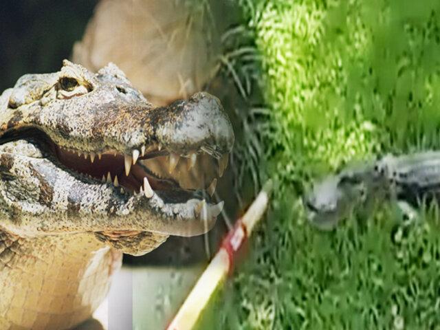 Policía enfrenta a un caimán con una escoba