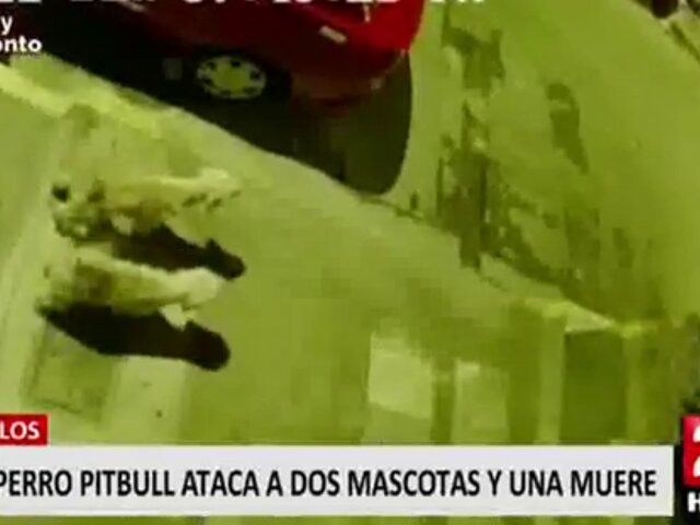 Chorrillos: denuncian que dueños de pitbull que mató a otro can lucran con los animales