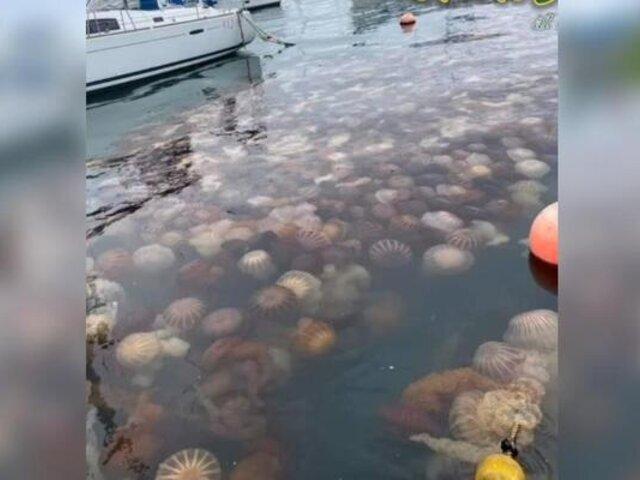 ¿A qué se debe la gran cantidad de medusas en la costa del Callao?