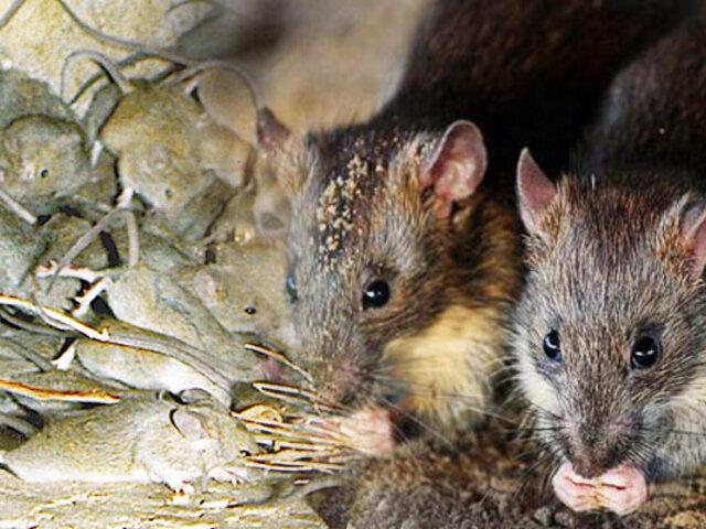 Australia atraviesa la peor plaga de ratones en años