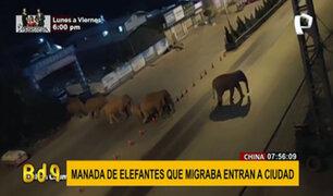 China: manada de elefantes transita por las calles de una ciudad y genera alarma