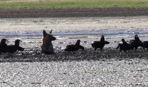 Chile: rescatan a perro atascado en el lodo y amenazado por buitres