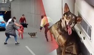 Surco: rescatan a perrita que paralizó el tránsito en el óvalo Higuereta