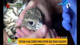 Rusia: veterinarios tatúan halcones para espantar a cazadores