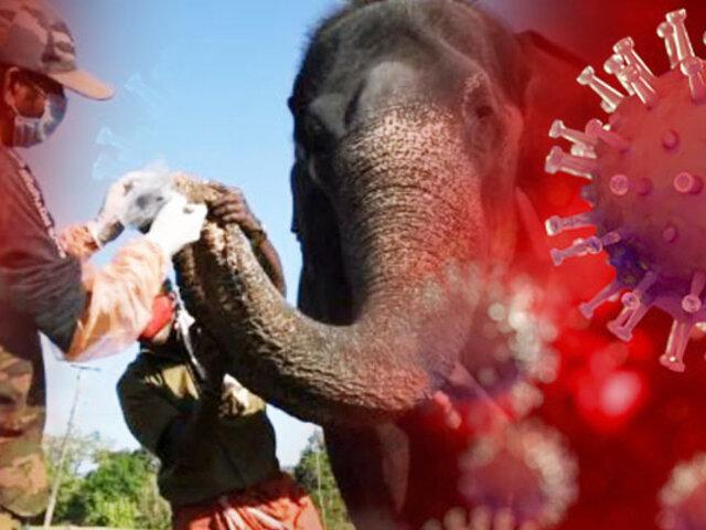 India: elefantes son sometidos a pruebas de COVID-19