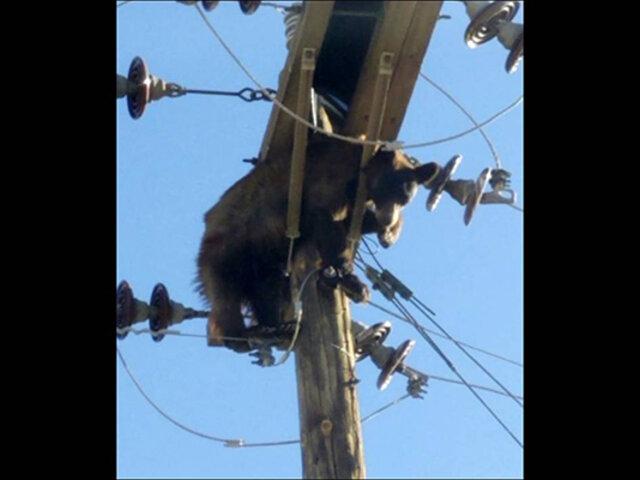 EEUU: oso queda atrapado en poste de electricidad y provoca corte de luz