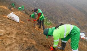 El Agustino: ante recientes sismos plantan árboles en cerros para evitar caída de rocas y tierra