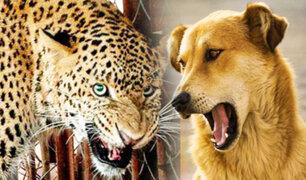 Leopardo ataca a un perro y este escapa milagrosamente