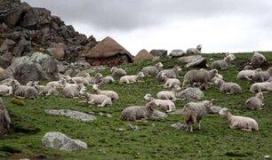 Heladas en Pasco vienen dejando decenas de animales muertos
