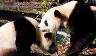 China: pandas gigantes fueron retirados de la lista de animales en peligro de extinción