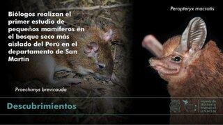 San Martín: descubren 29 especies de mamíferos pequeños en bosque seco más aislado del Perú
