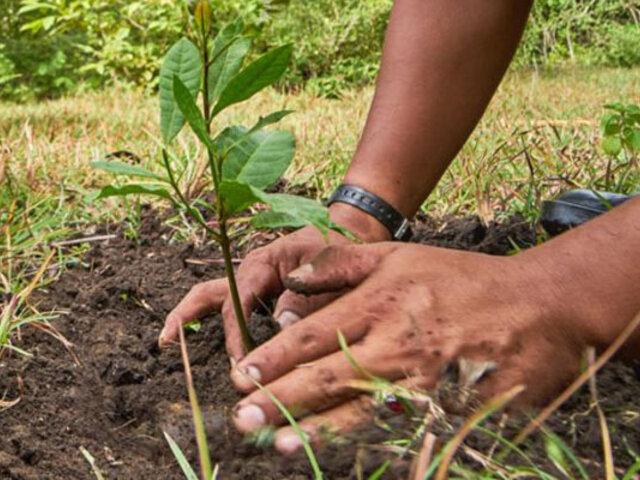 Proyecto Forestal 2021: reforestarán suelos degradados por cultivos ilícitos en el Vraem