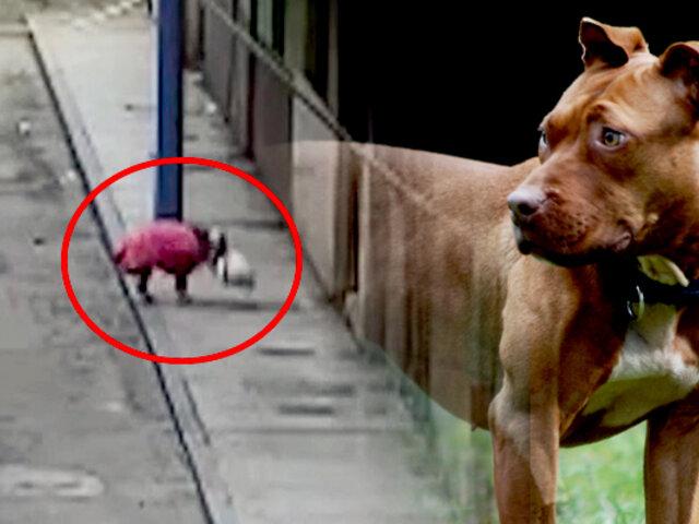 Video muestra cómo un pitbull ataca y mata a un gato en plena calle en Huaura