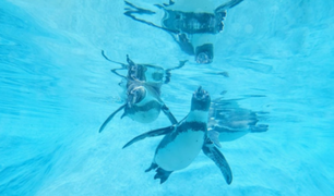 Primera exhibición subacuática de pingüinos de Humboldt en el parque de las Leyendas